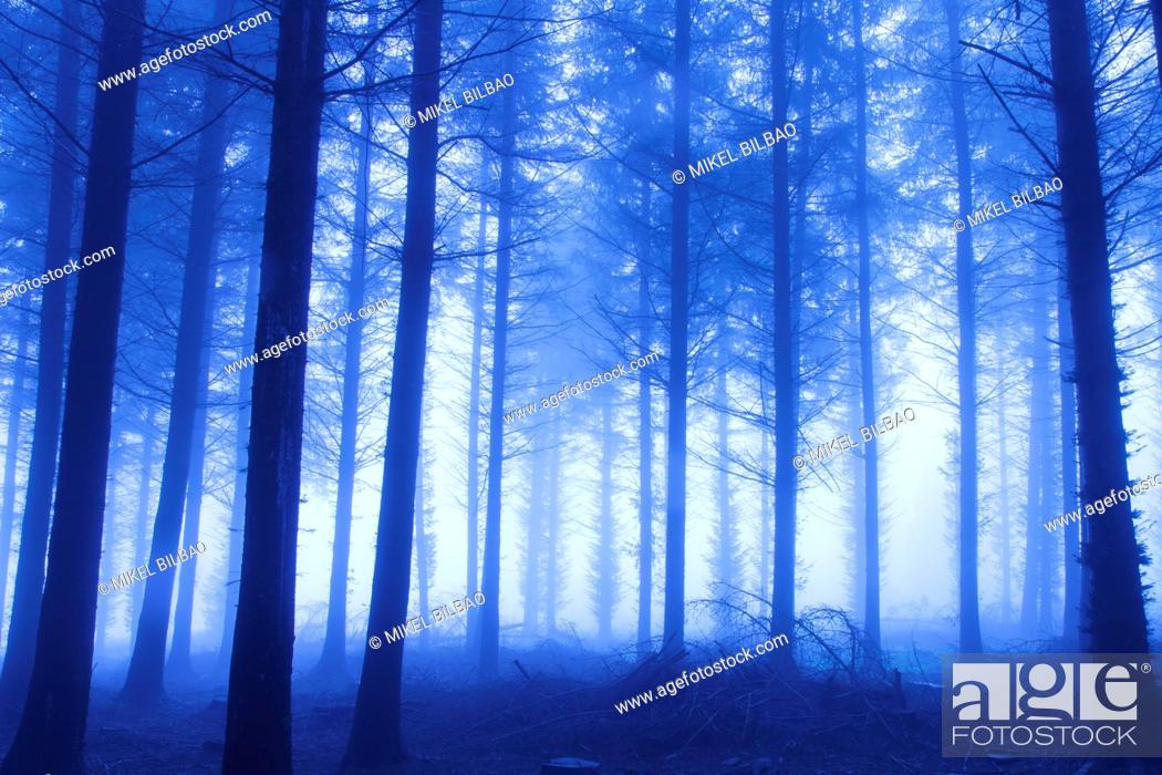 Stock Photo: Pine grove. Gorbeia Natural Park. Biscay, Basque Country, Spain. Europe.