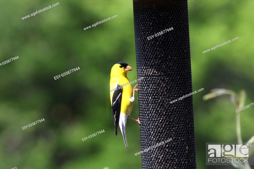 Stock Photo: A male American Goldfinch eating thistle at a feeder in Wisconsin, USA.
