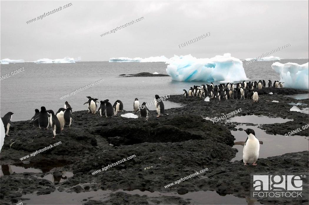 Imagen: Adelie penguins Pygoscelis adeliae resting on the shores just next to their colony, Brown Bluff, Antarctic Peninsula.