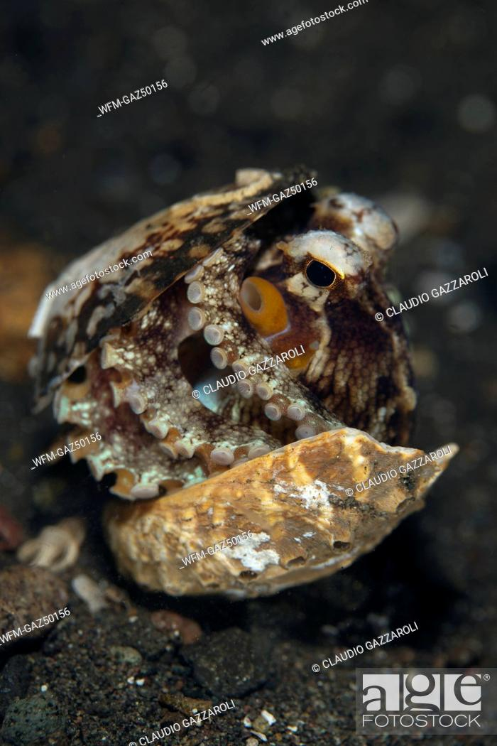 Stock Photo: Octopus hiding in Shell, Octopus marginatus, Komodo, Indonesia.