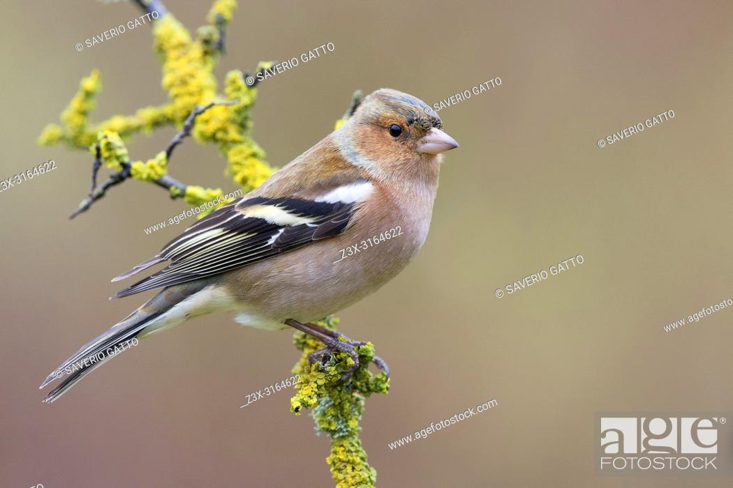 Imagen: Common Chaffinch, Adult male standing on a branch, Tuscany, Italy (Fringilla coelebs).