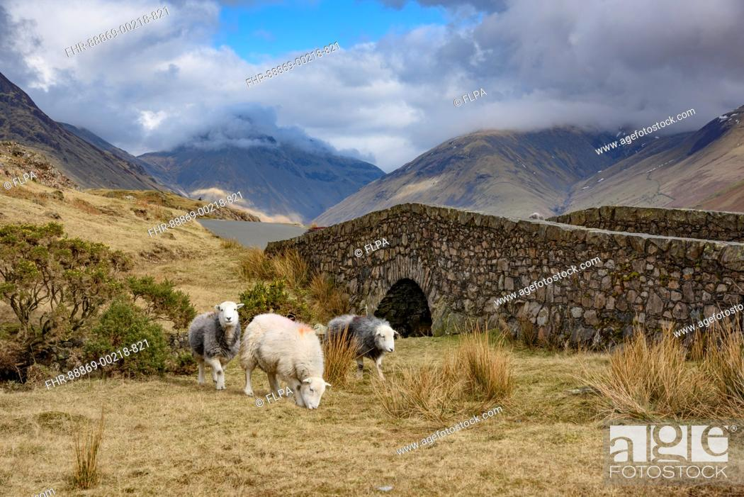 Stock Photo: Herdwick ewes, Wast Water, Wasdale, Cumbria, Lake District National Park, England.