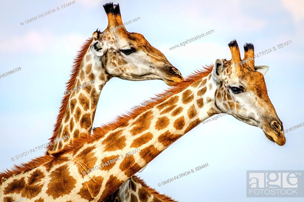 Stock Photo: Close up of three Giraffes in the Chobe National Park, Botswana.
