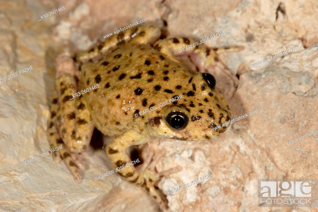 Imagen: Majorcan midwife toad (Alytes muletensis), Serra de Tramuntana, Majorca, Balearic Islands, Spain.