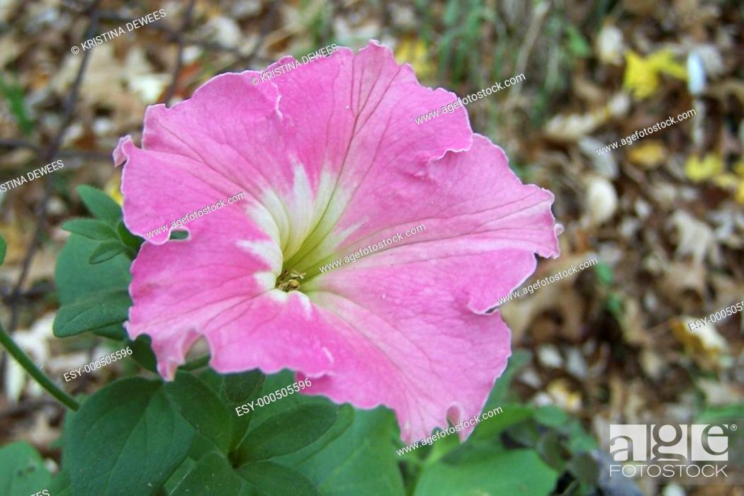 Stock Photo: A hot pink petunia wiht a green and white eye blooming on a cold november day with a background of fall leaves.
