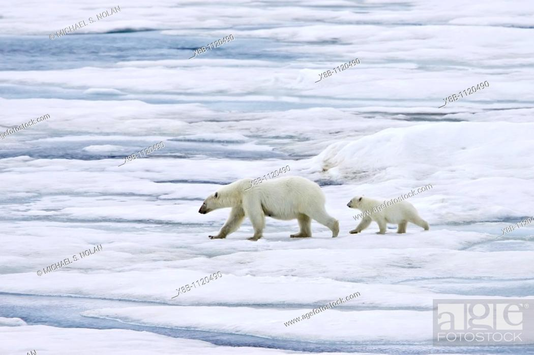Stock Photo: A mother polar bear Ursus maritimus with a single coy cub-of-year on first year ice floes in the Barents Sea off the eastern coast of Bˆlscheˆya Island in the.