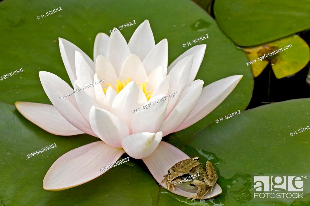 Stock Photo: white water-lily, white pond lily (Nymphaea alba), blooming plant with grass frog, Germany, Schleswig-Holstein.