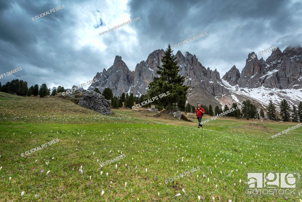 Stock Photo: Funes Valley, Dolomites, South Tyrol, Italy. Flower meadow at the Malga Casnago.
