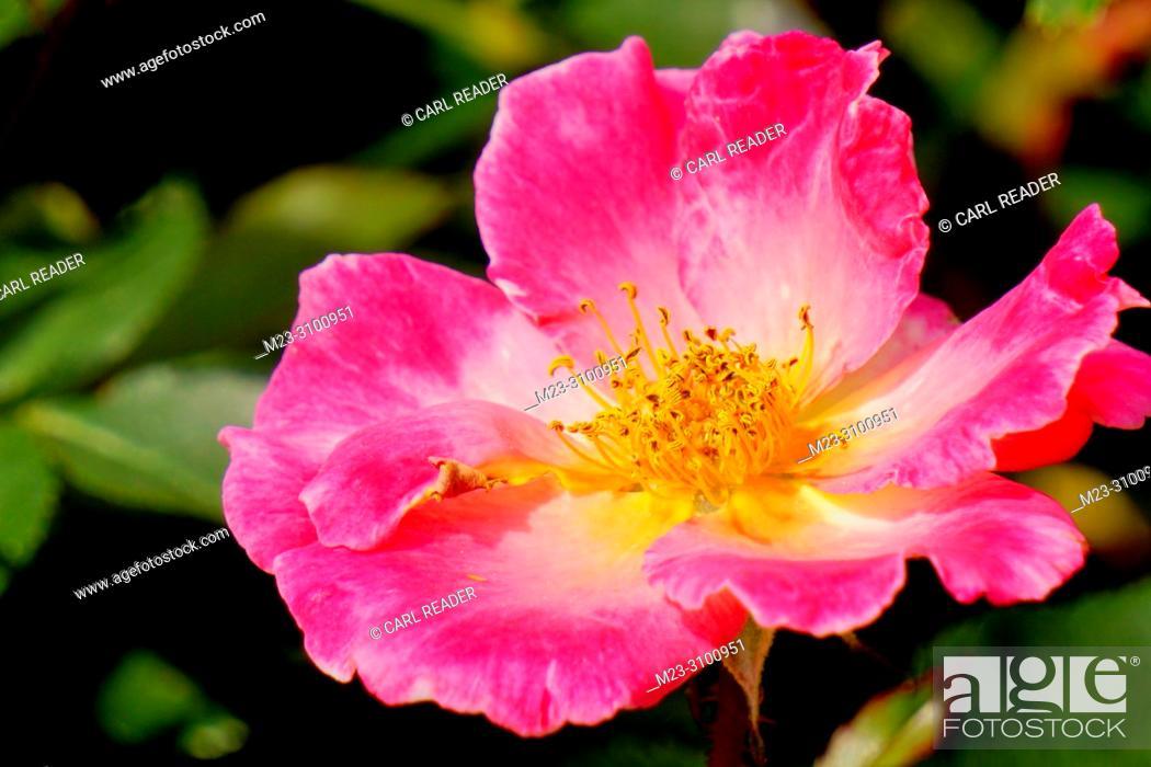 Stock Photo: A pink rose in the sun, Pennsylvania, USA.
