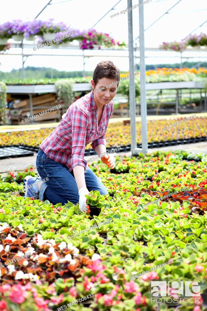 Stock Photo: Female gardener working in greenhouse.