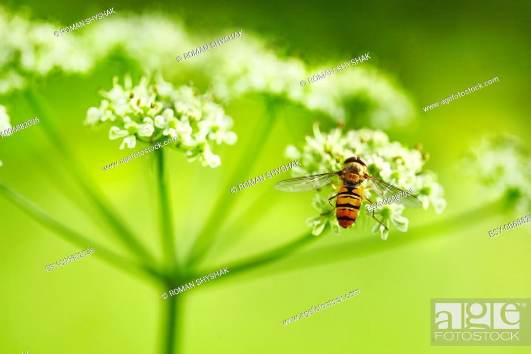 Stock Photo: Wild Dill (Perideridia americana). Close up view.