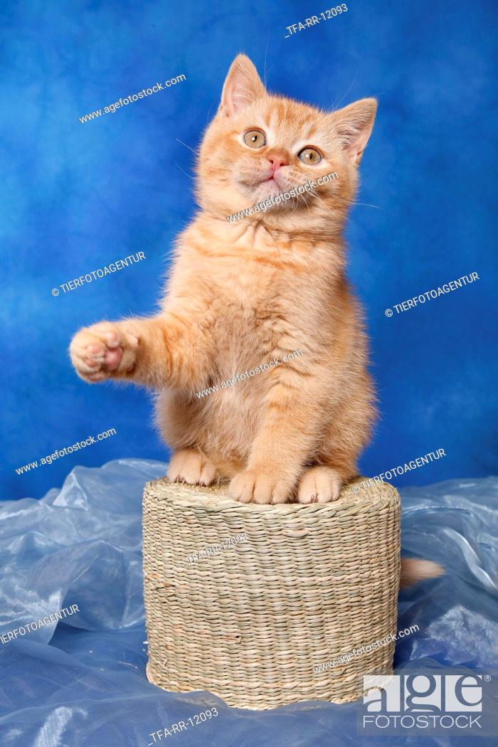 Stock Photo: British Shorthair Kitten.