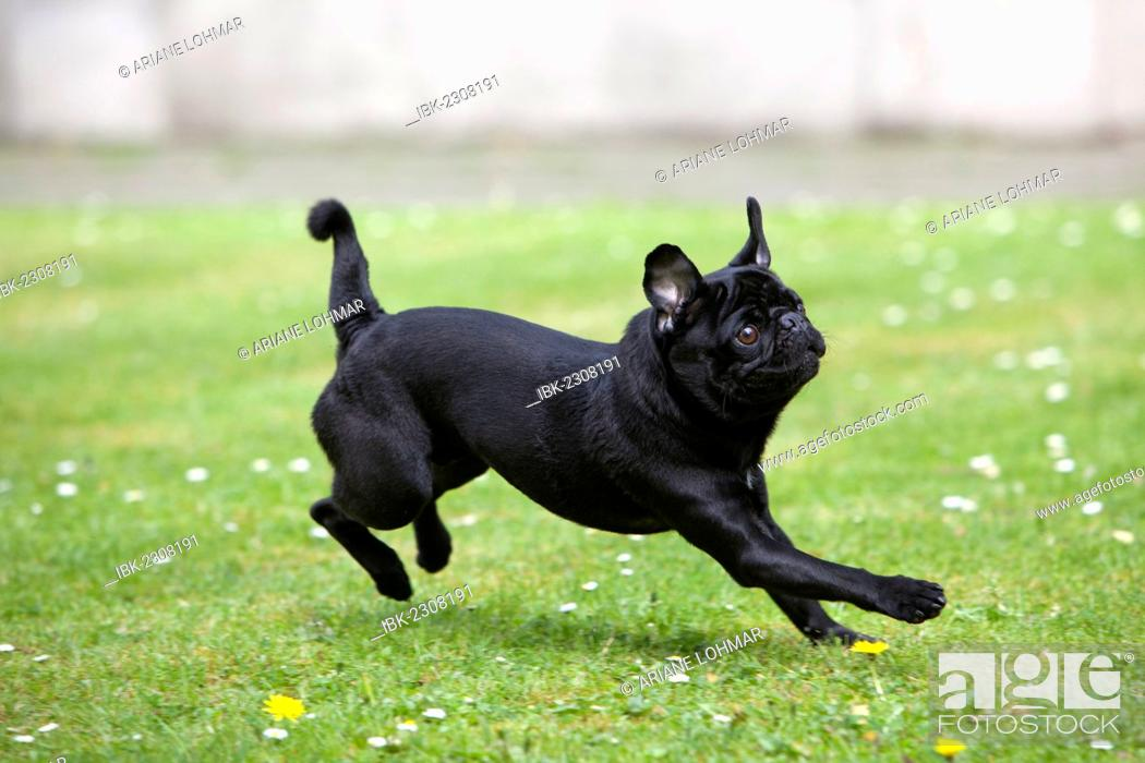 Stock Photo: Black pug frolicking on a meadow.