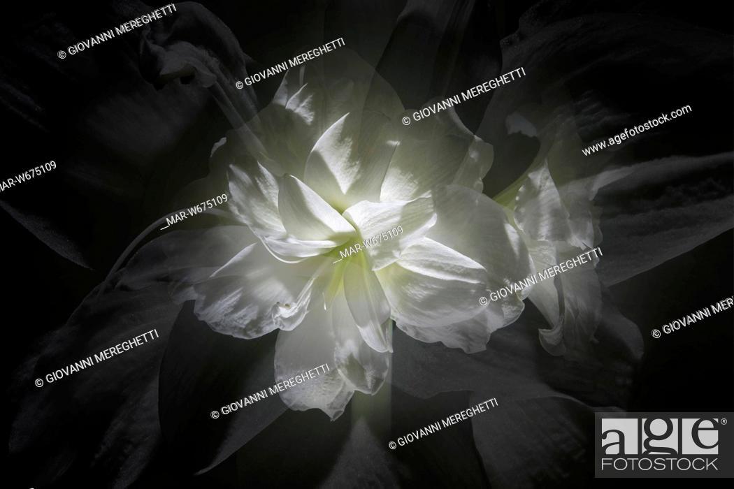 Stock Photo: fiore.