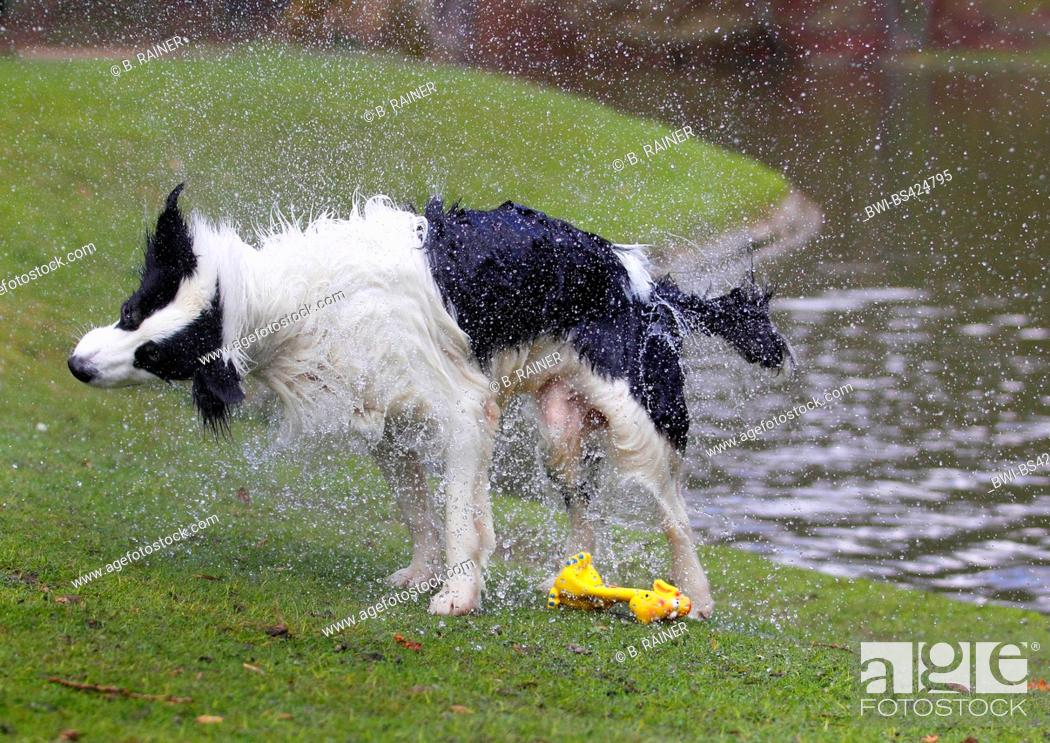 Stock Photo: Australian Shepherd (Canis lupus f. familiaris), male dog comming out a pond and shaking water from the fur, side view, Germany.