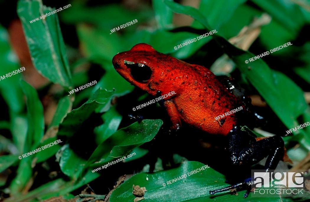 Stock Photo: tiny strawberry poison frog, Dendrobates pumilio, Cocos Island South america Latin america, Costa Rica.