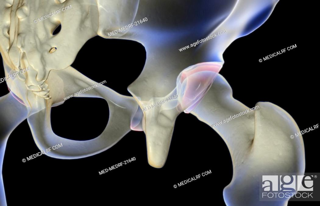 Stock Photo: The bones of the hip.