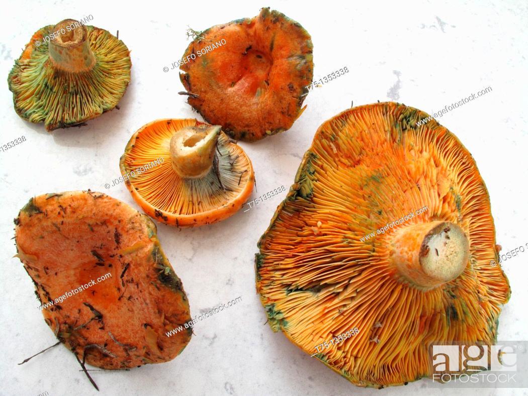 Stock Photo: Mushrooms, Rebollones.