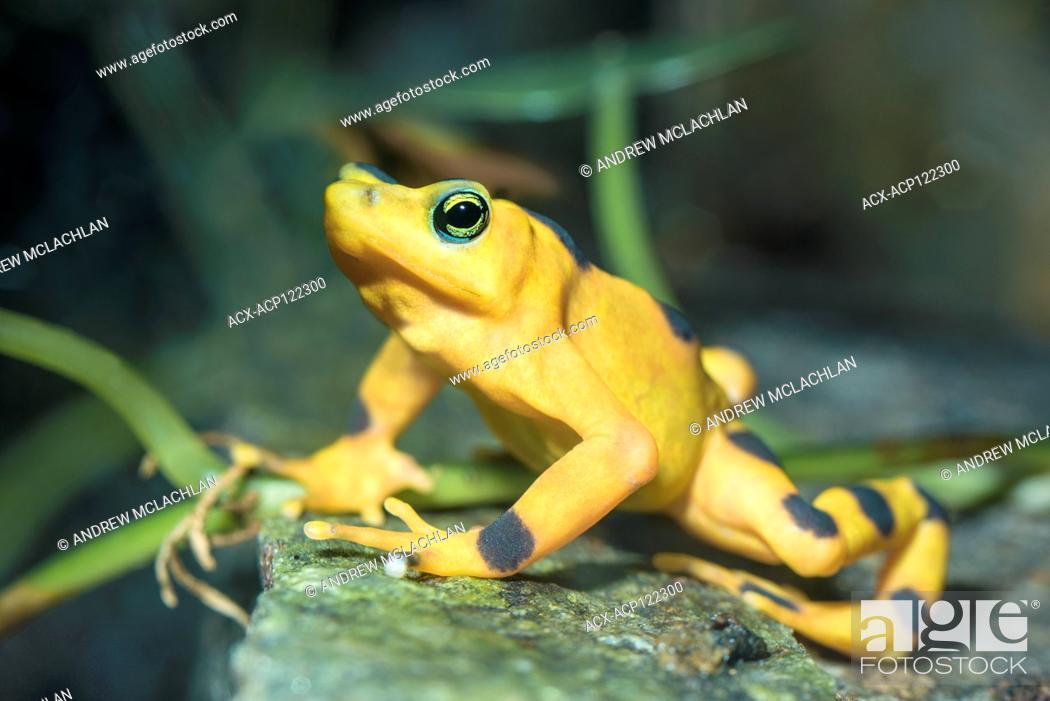 Stock Photo: Panamanian Golden Frog (atelopus varius zeteki) - captive. A critically endangered frog endemic to Panama.