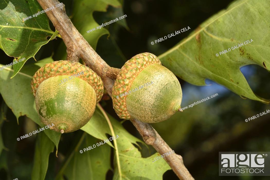 Stock Photo: Quercus rubra. American oak.