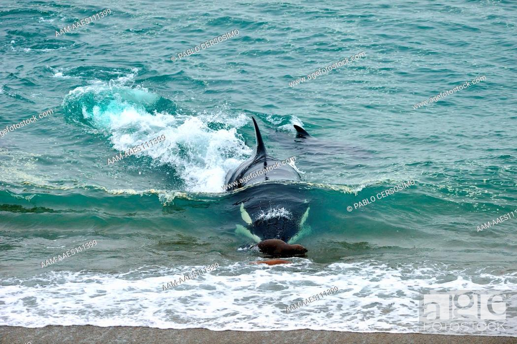 Imagen: Orca or Killer Whale, Orcinus Orca, attacking South American Sea Lion, Peninsula Valdes, Patagonia, Argentina, South Atlantic.