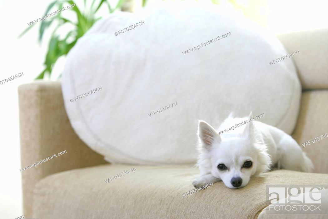 Stock Photo: Chihuahua Gazed At From A Sofa.