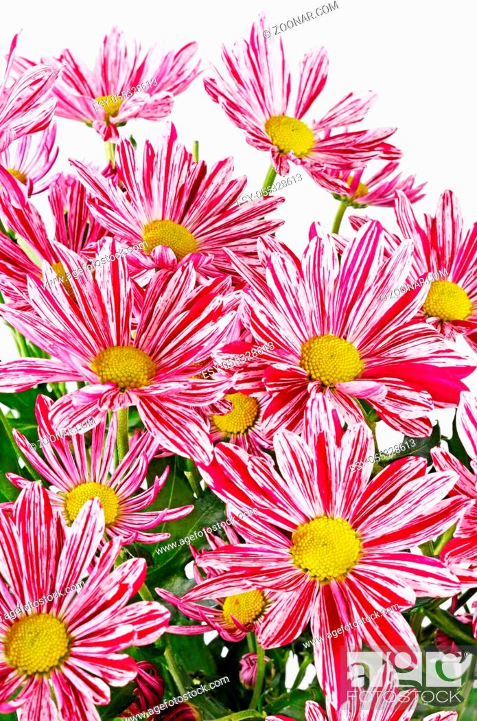 Stock Photo: Flower pink chrysanthemums on isolated white background.