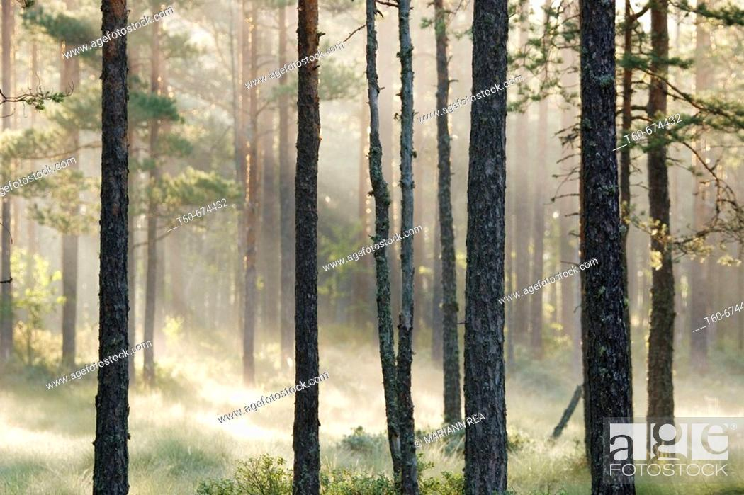 Stock Photo: Early morning fog in a forest.