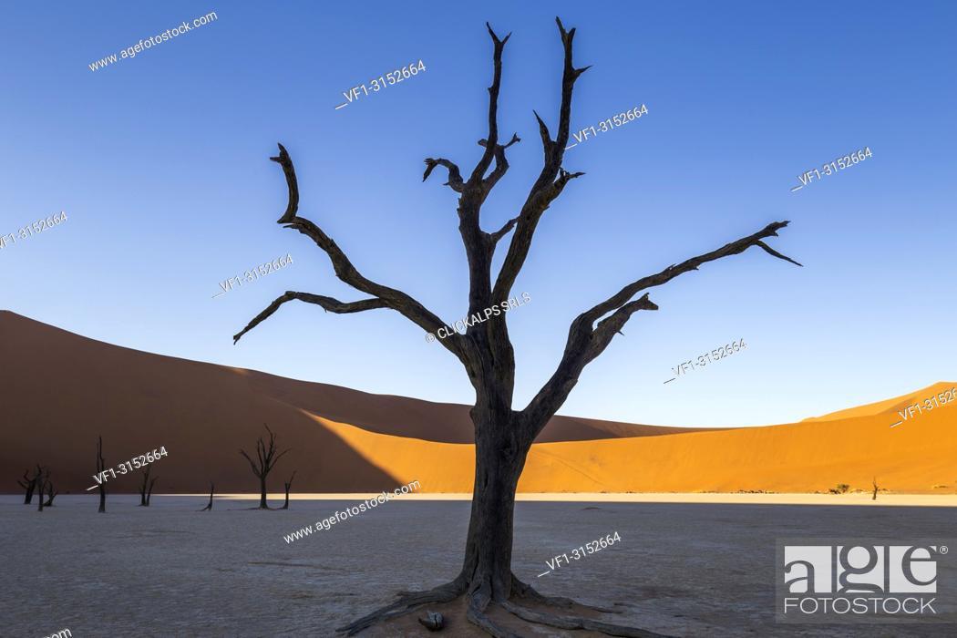 Stock Photo: Dead acacia trees and sand dunes,Deadvlei clay pan,Namib Naukluft national park,Namibia,Africa.