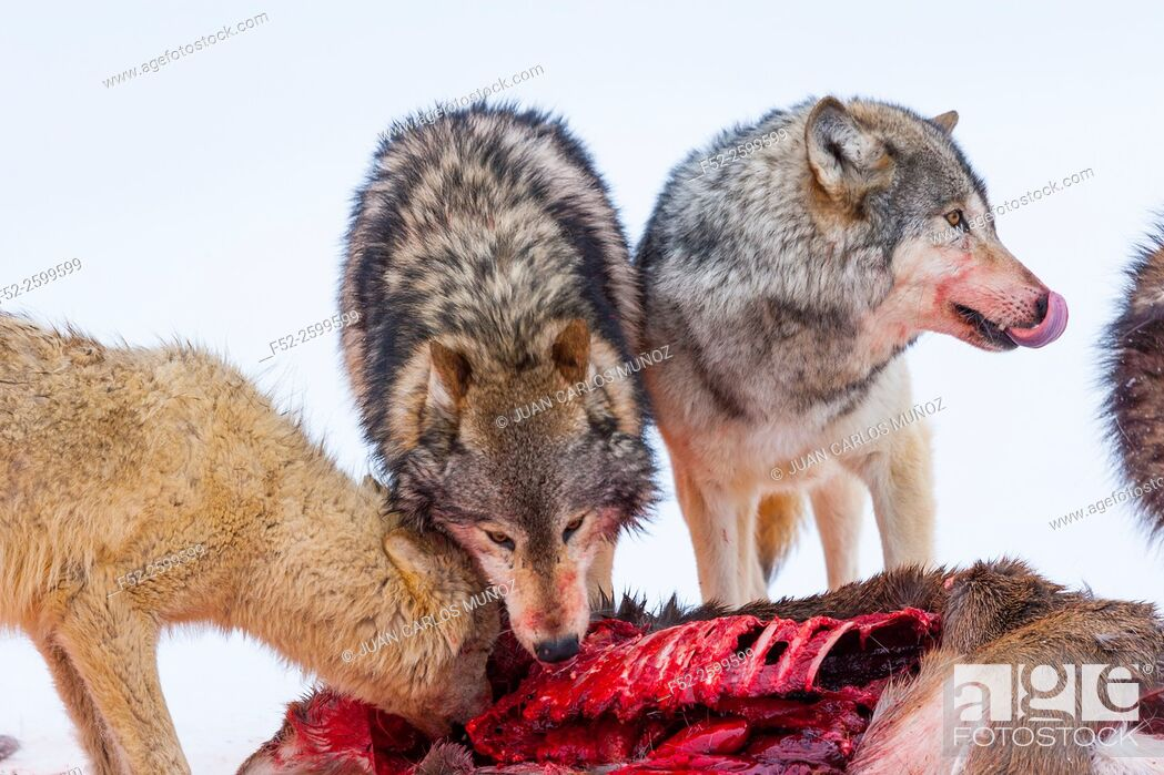 Stock Photo: Gray wolves (Canis lupus). Colorado, Usa.