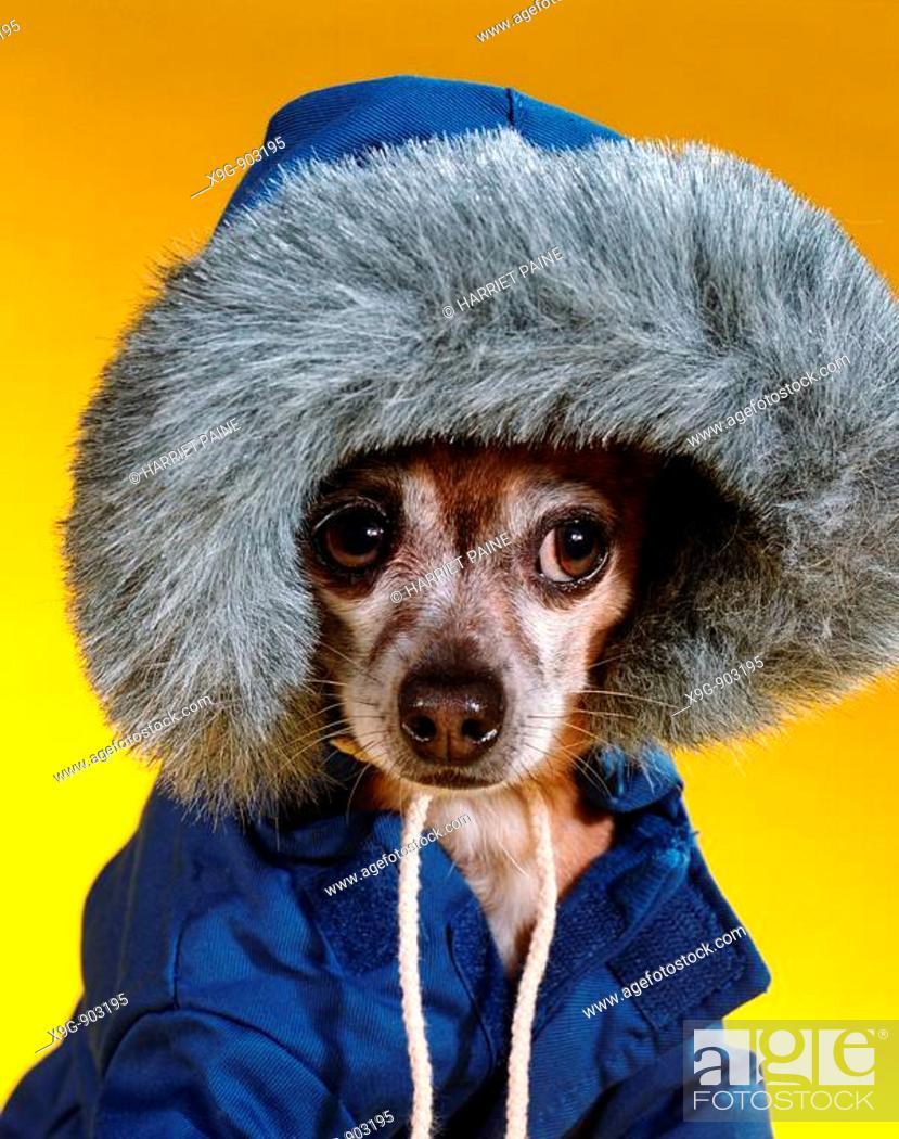 Stock Photo: Chihuahua.