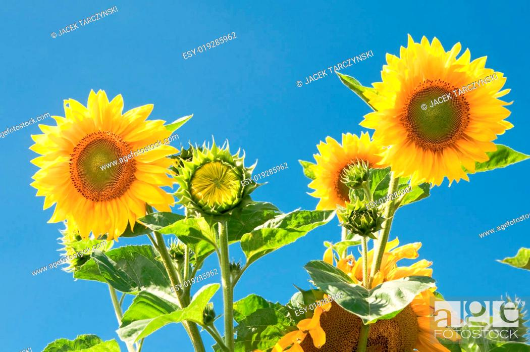 Stock Photo: sunflowers on blue sky background.