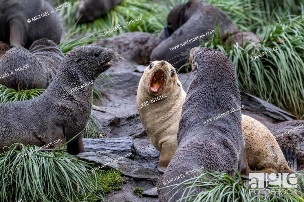 Stock Photo: A young leucistic Antarctic fur seal, Arctocephalus gazella, mock-fighting amongst normally colored pups, Cooper Bay, South Georgia.