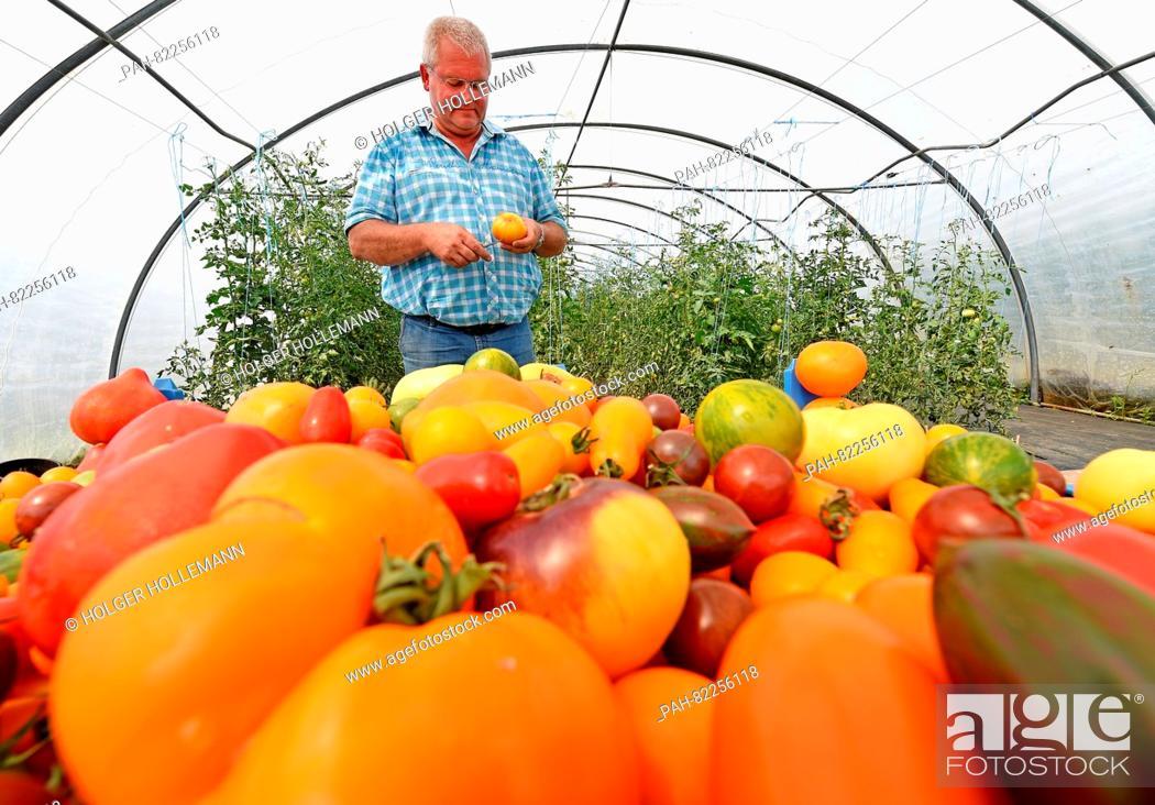 Tomato farmer Gerd Sundermeyer cuts a pineapple tomato in a