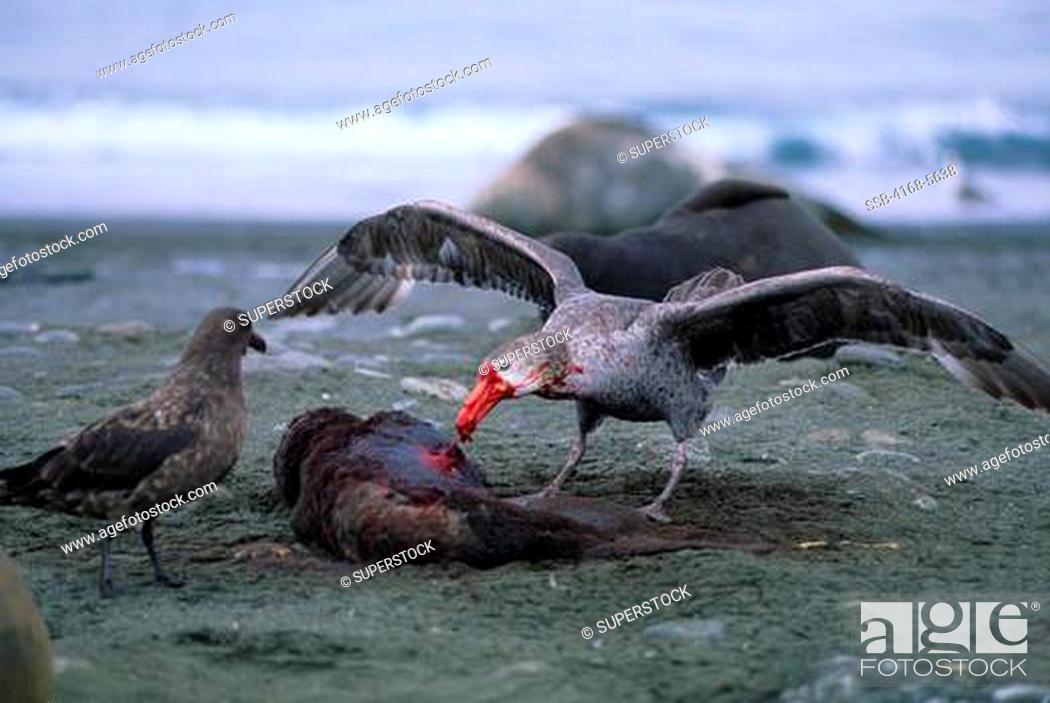 Stock Photo: SOUTH GEORGIA ISLAND, SALISBURY PLAIN, GIANT PETREL FEEDING ON DEAD ELEPHANT SEAL PUP, SKUA.