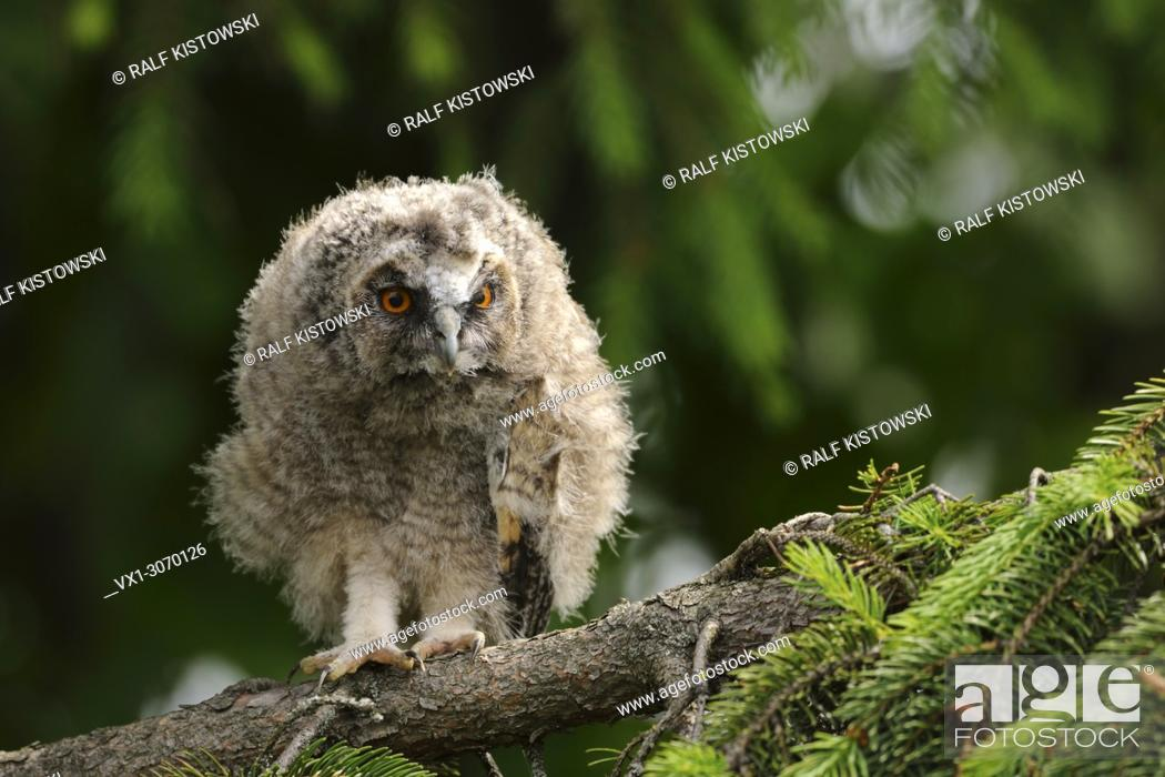 Stock Photo: Long-eared Owl ( Asio otus ), young chick, just fledged, perched in a tree, looks alert, watching, peeking attentively, serious, wildlife, Europe.