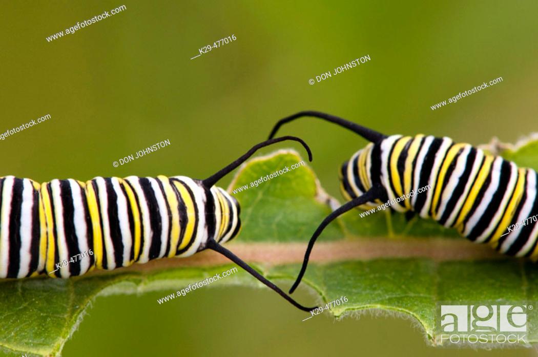 Stock Photo: Monarch butterfly (Danaus plexippus) 4th instar caterpillars feeding on milkweed leaf. Lively, ON, Canada.