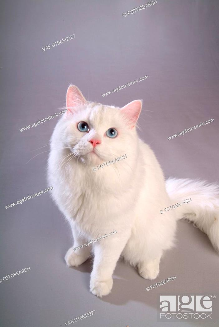 Stock Photo: closeup, TurkishAngora, close up, domestic animal, turkishangora, companion, cat.