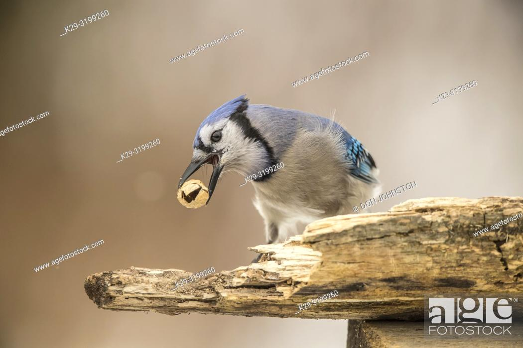 Stock Photo: Blue jay (Cyanocitta cristata), Greater Sudbury, Ontario, Canada.