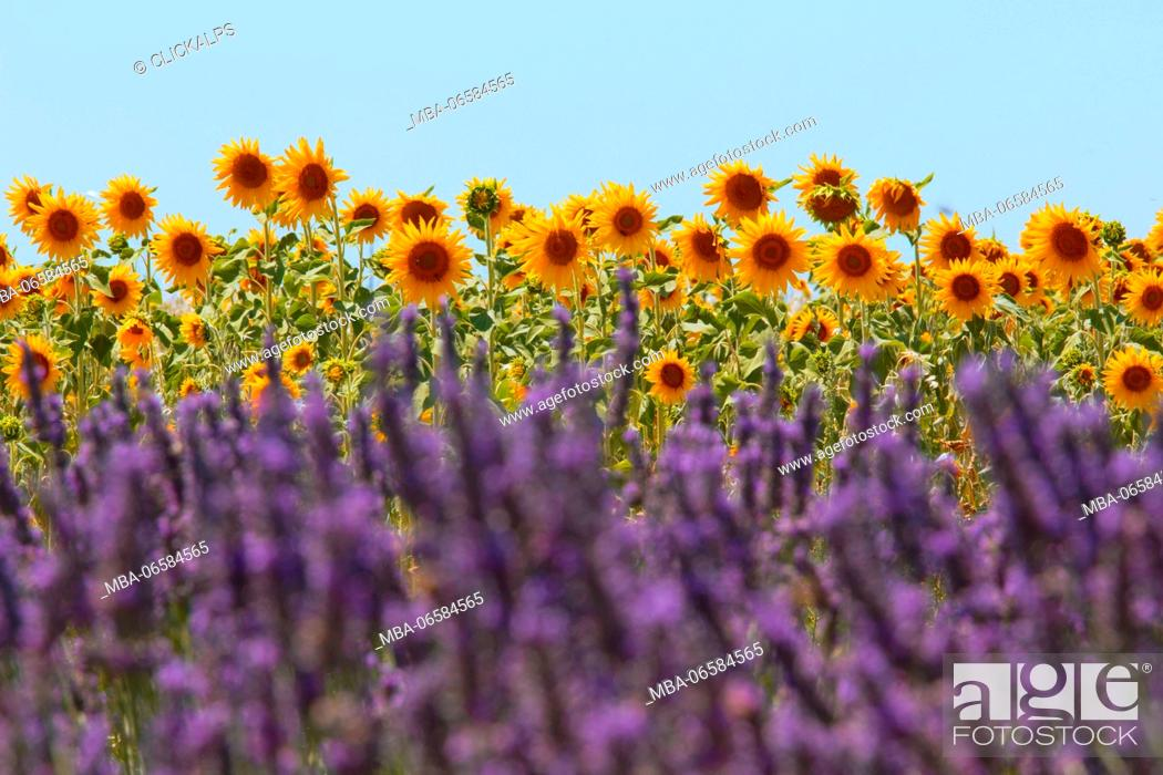 Stock Photo: Europe, France, Provence Alpes Cote d'Azur, Plateau of Valensole, Lavender Field.