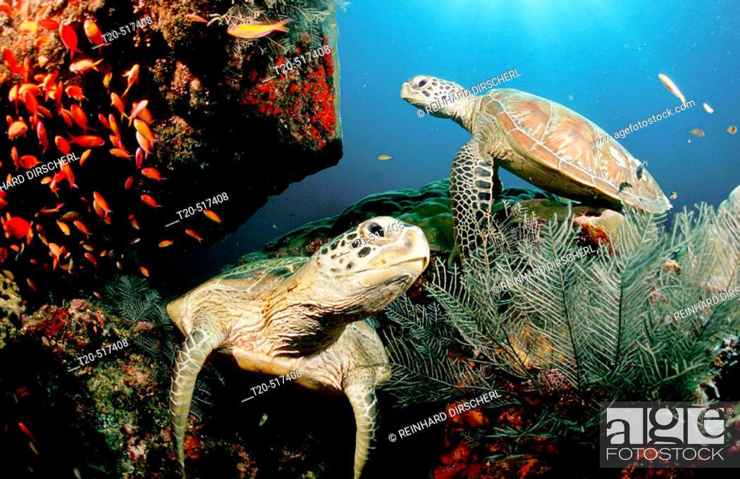 Stock Photo: Two Green sea turtle, green turtles on a cleaner station, Chelonia mydas. Pacific ocean, Borneo, Sipadan. Malaysia.
