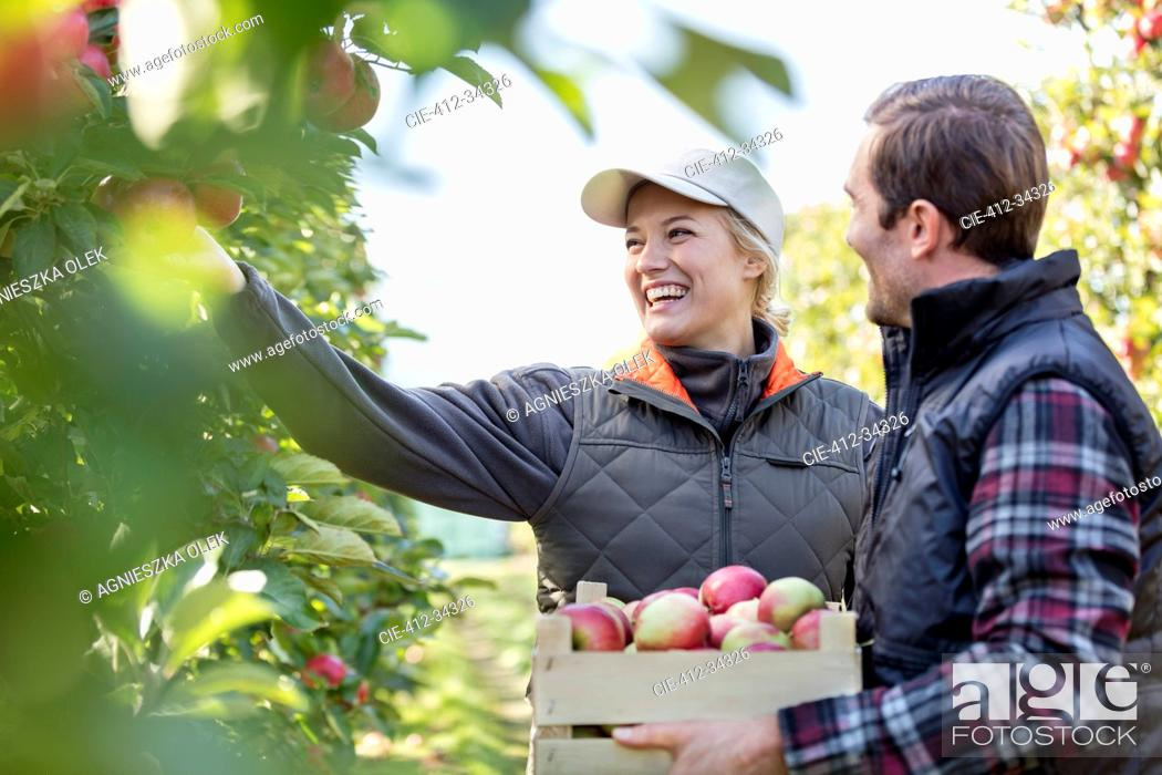 Stock Photo: Smiling farmers harvesting apples in orchard.