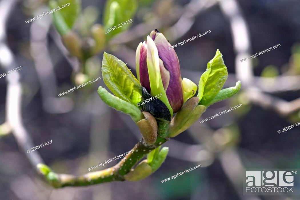 Magnolia Soulangeana Lennei Stock Photo Picture And Rights