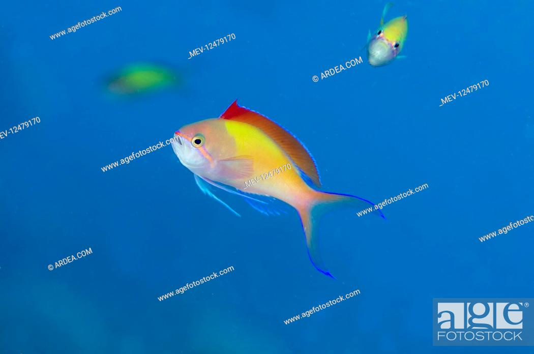 Stock Photo: Redfin Anthias - with fin extended - Pyramids.