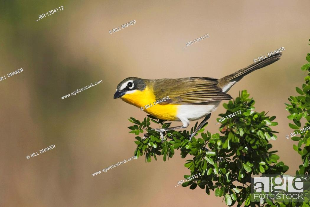 Yellow Breasted Chat Icteria Virens Adult On Blackbrush Acacia
