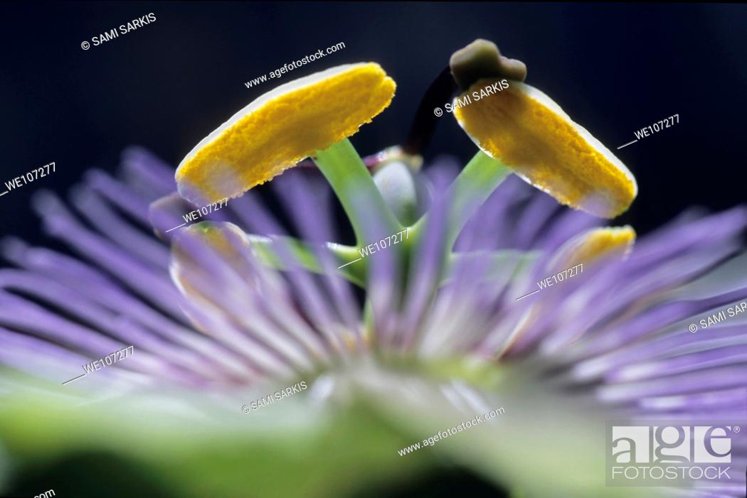 Stock Photo: Stamen of a Passionflower Passiflora edulis, France.