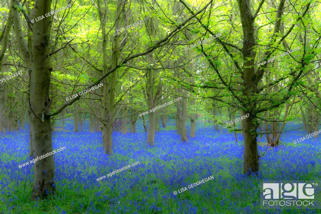 Imagen: Bluebells-Hyacinthoides non-scripta.