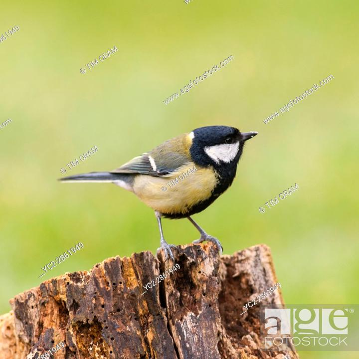 Stock Photo: A Great Tit on perch (Parus major) in the Uk.