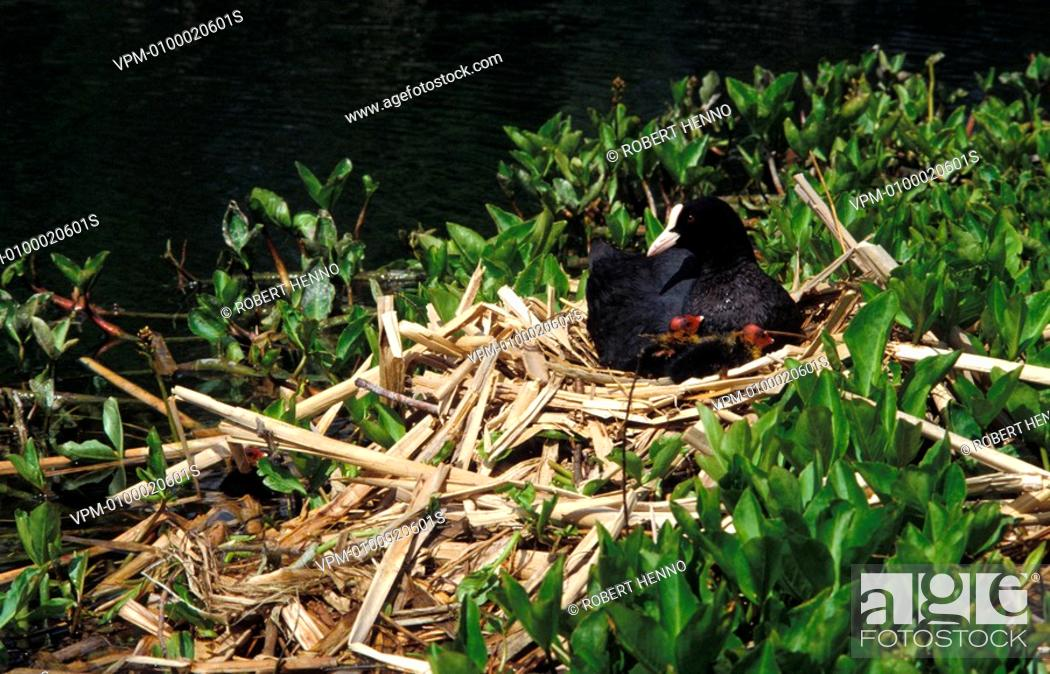 Stock Photo: FULICA ATRACOOT - BLACK COOT - COMMON COOT - EURASIAN COOTON NEST WITH CHICKS.
