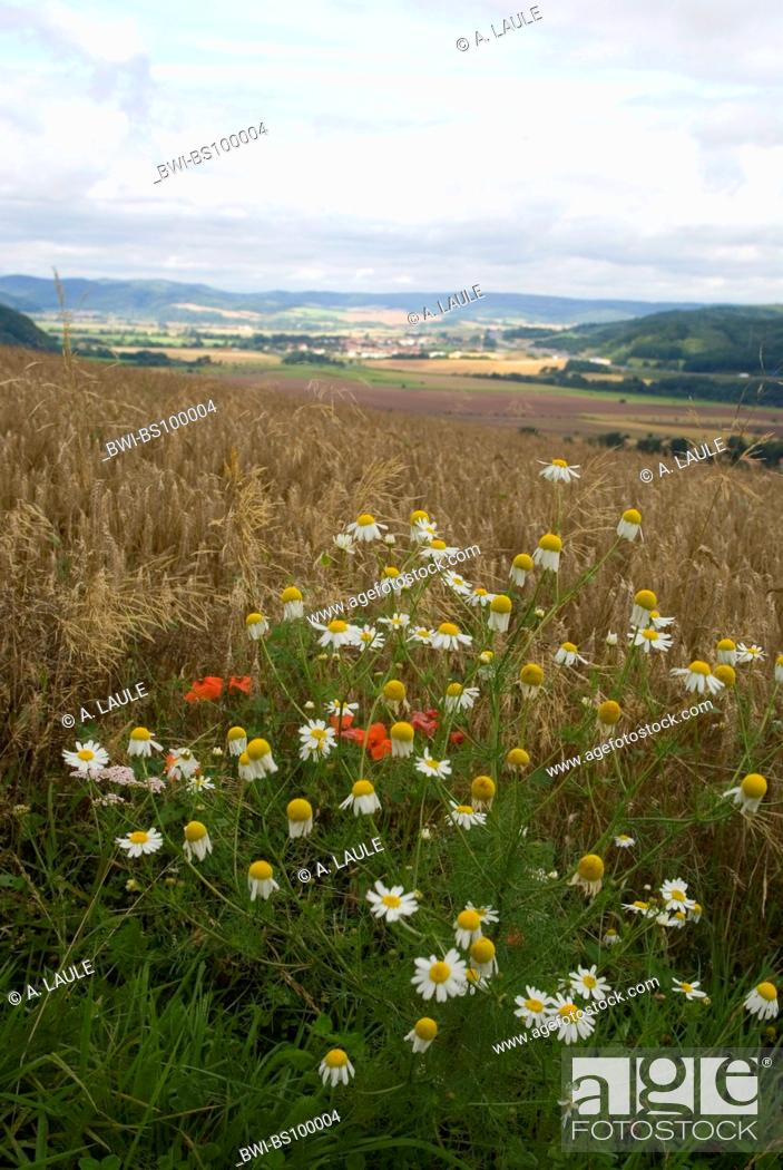 Stock Photo: scented mayweed, german chamomile, german mayweed (Matricaria chamomilla, Matricaria recutita), blooming plant at a field margin, Germany, Thueringen, Rennsteig.